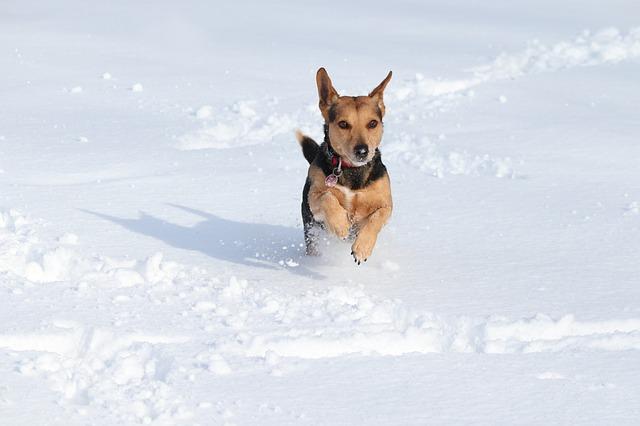 běžící pes