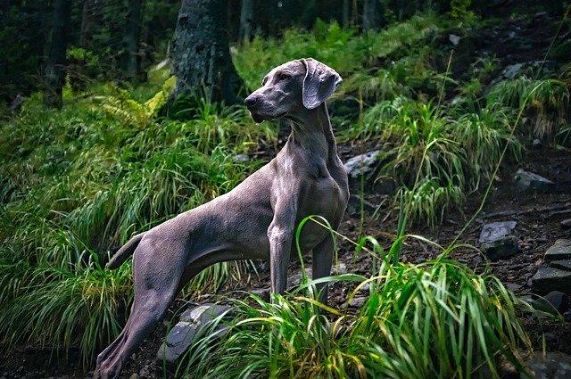 pes v lese